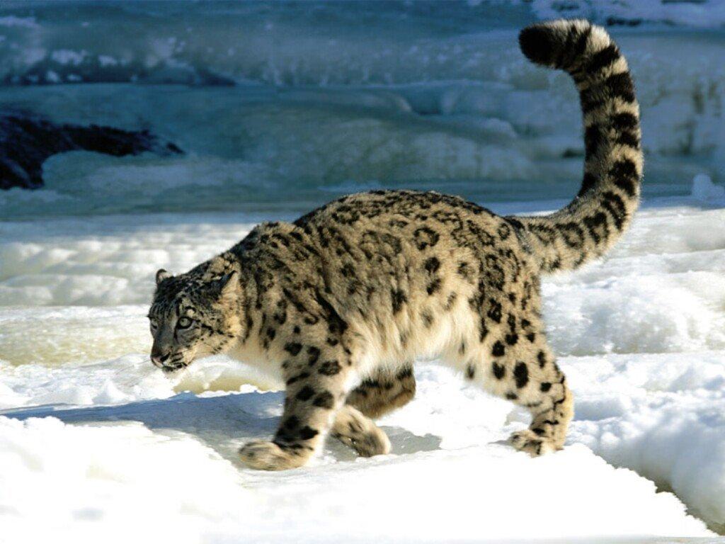 Nature Wallpaper: Snow Leopard