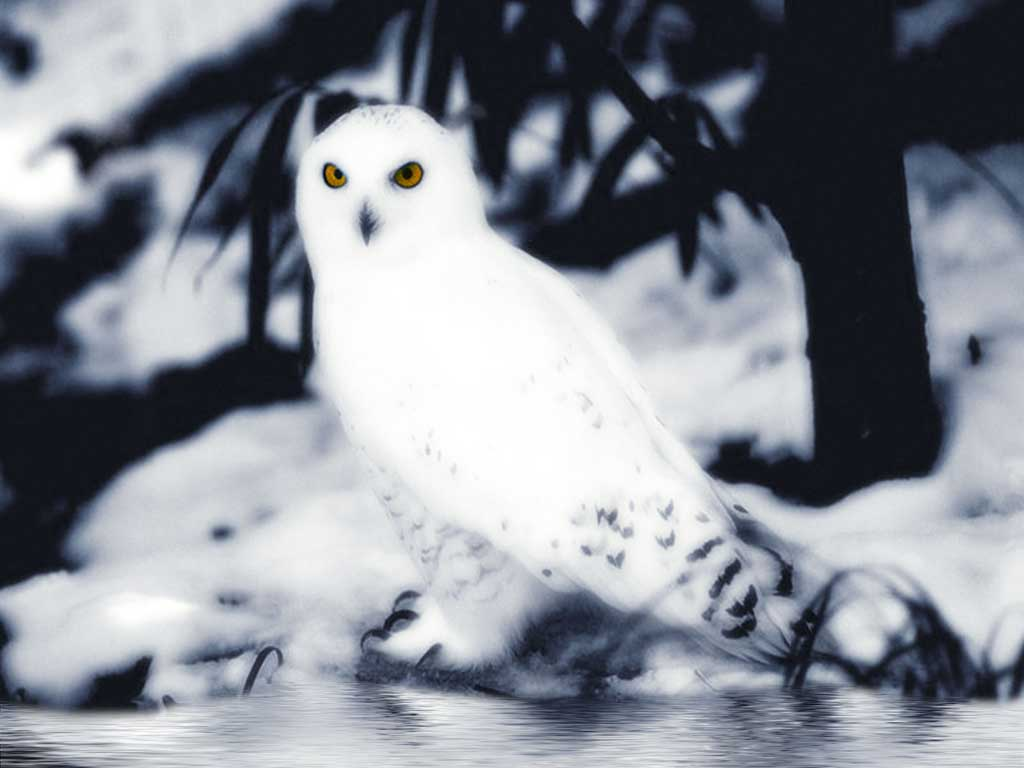Nature Wallpaper: Snow Owl