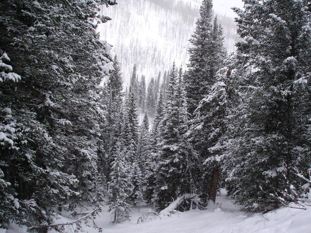 Nature Wallpaper: Snow Pines