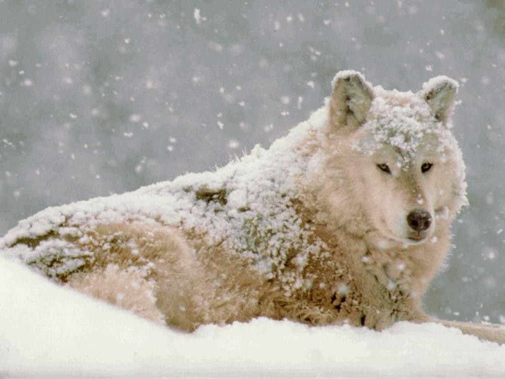 Nature Wallpaper: Snow Wolf