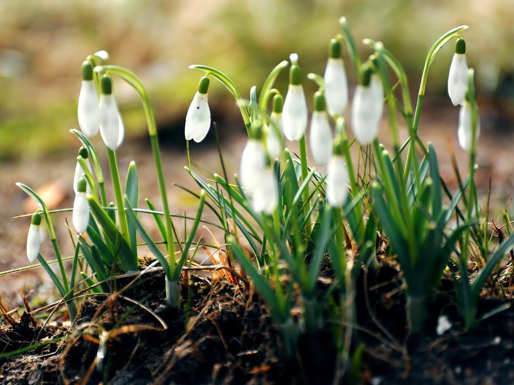 Nature Wallpaper: Snowdrops