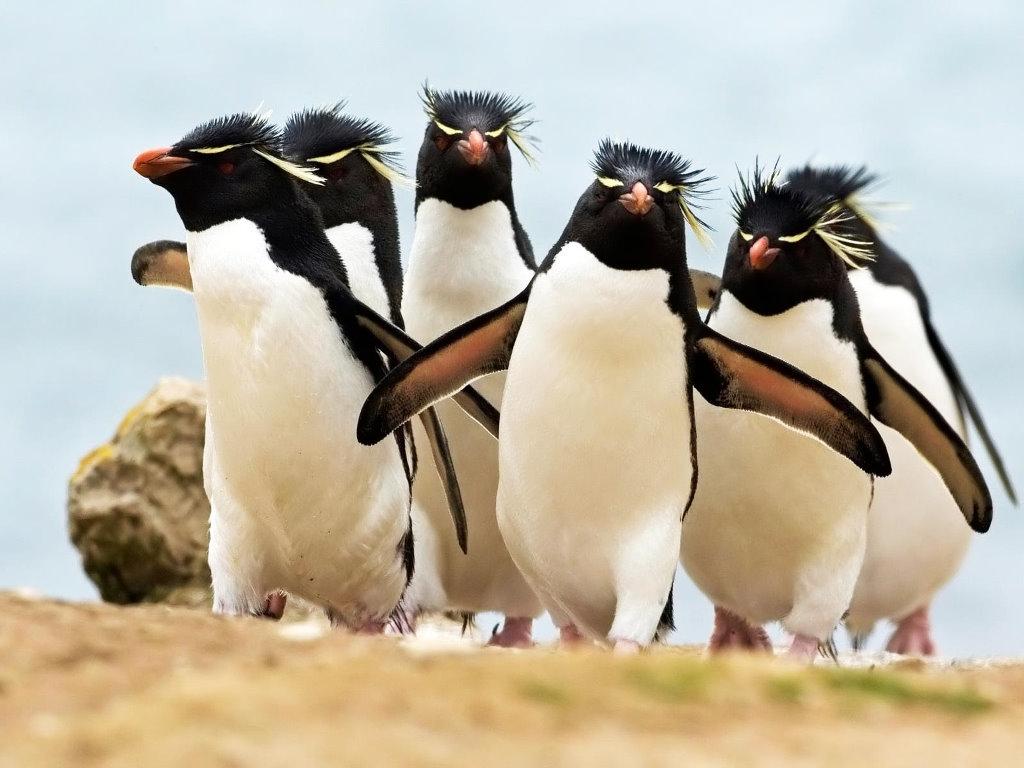Papel de Parede Gratuito de Natureza : Pinguins
