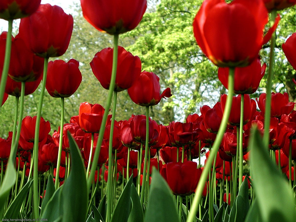 Nature Wallpaper: Spring Tulips