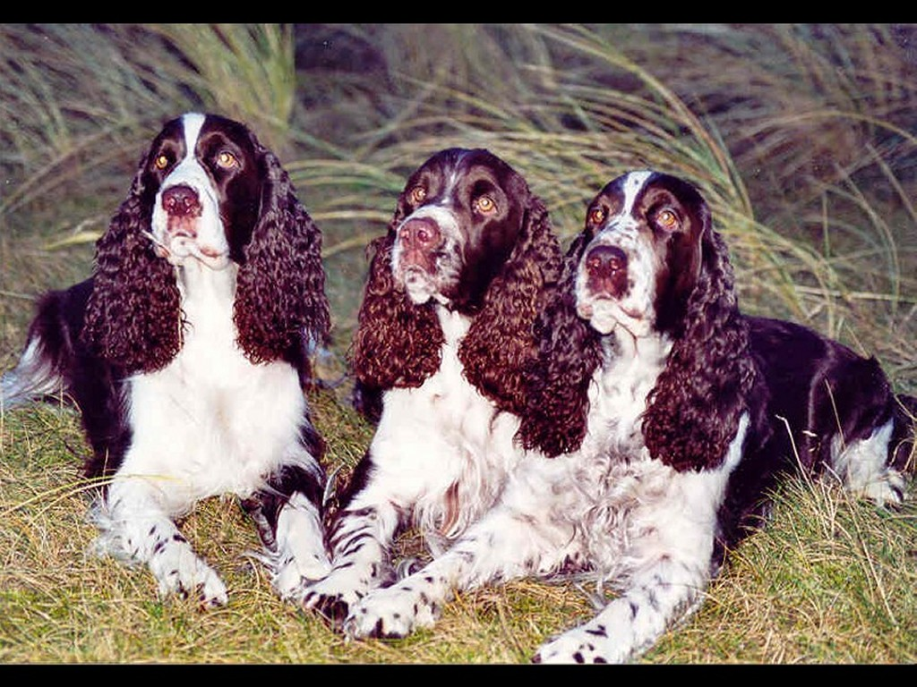 Nature Wallpaper: Springer Spaniels