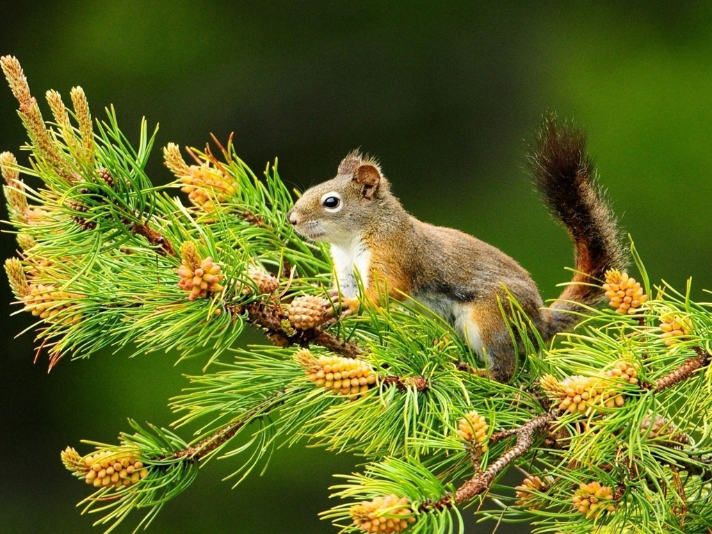 Nature Wallpaper: Squirrel