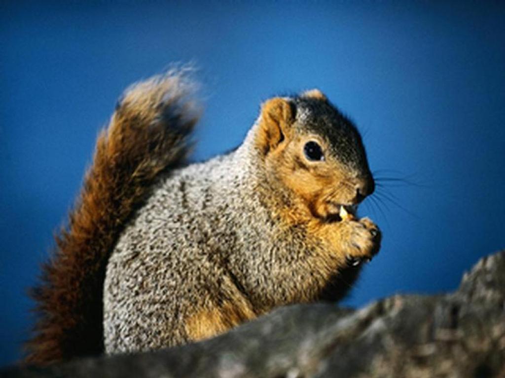 Nature Wallpaper: Squirrel Dinning
