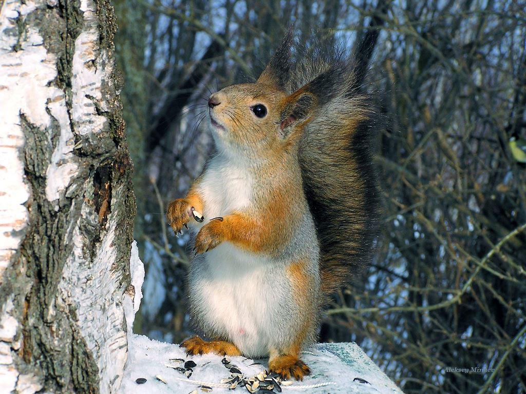 Nature Wallpaper: Squirrel
