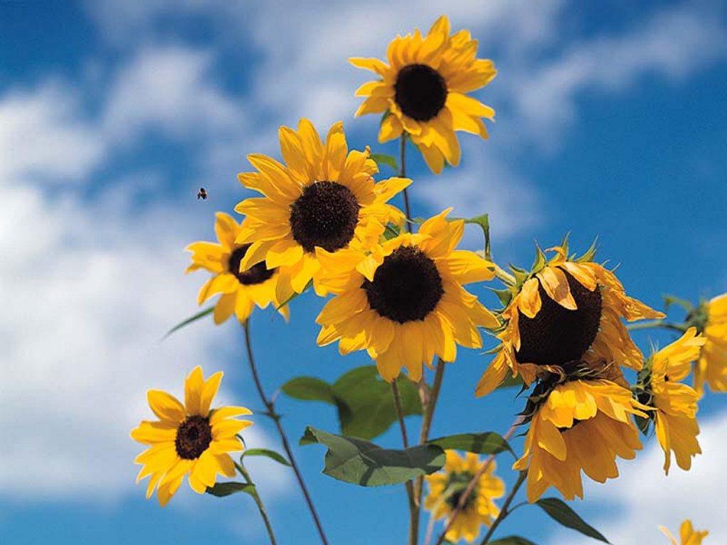 Nature Wallpaper: Sun Flower