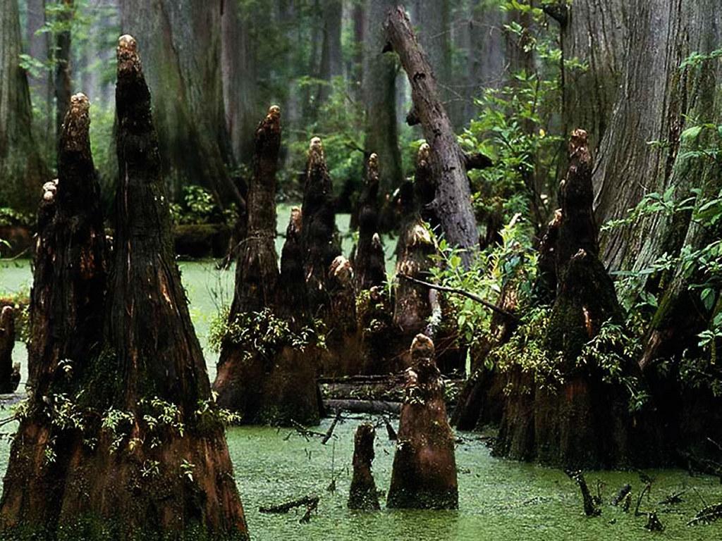 Nature Wallpaper: Swamp