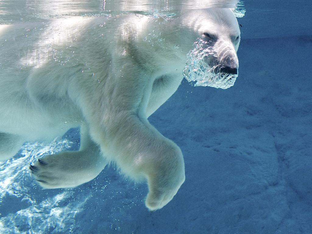 Nature Wallpaper: Polar Bear - Swimming