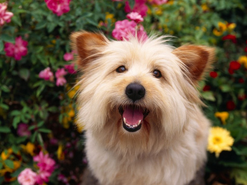 Nature Wallpaper: Terrier