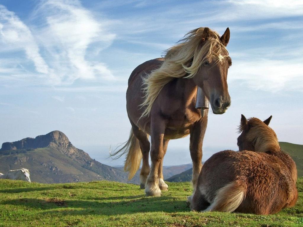 Nature Wallpaper: Tibetan Pony