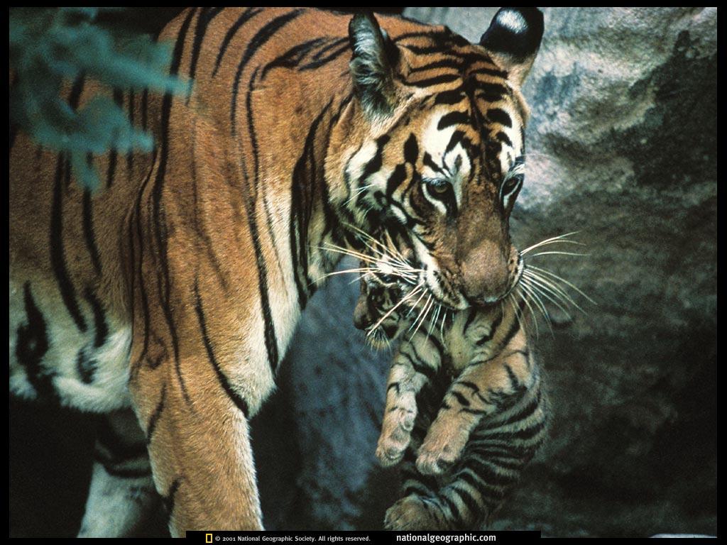 Nature Wallpaper: Mother Tiger Carrying Cub