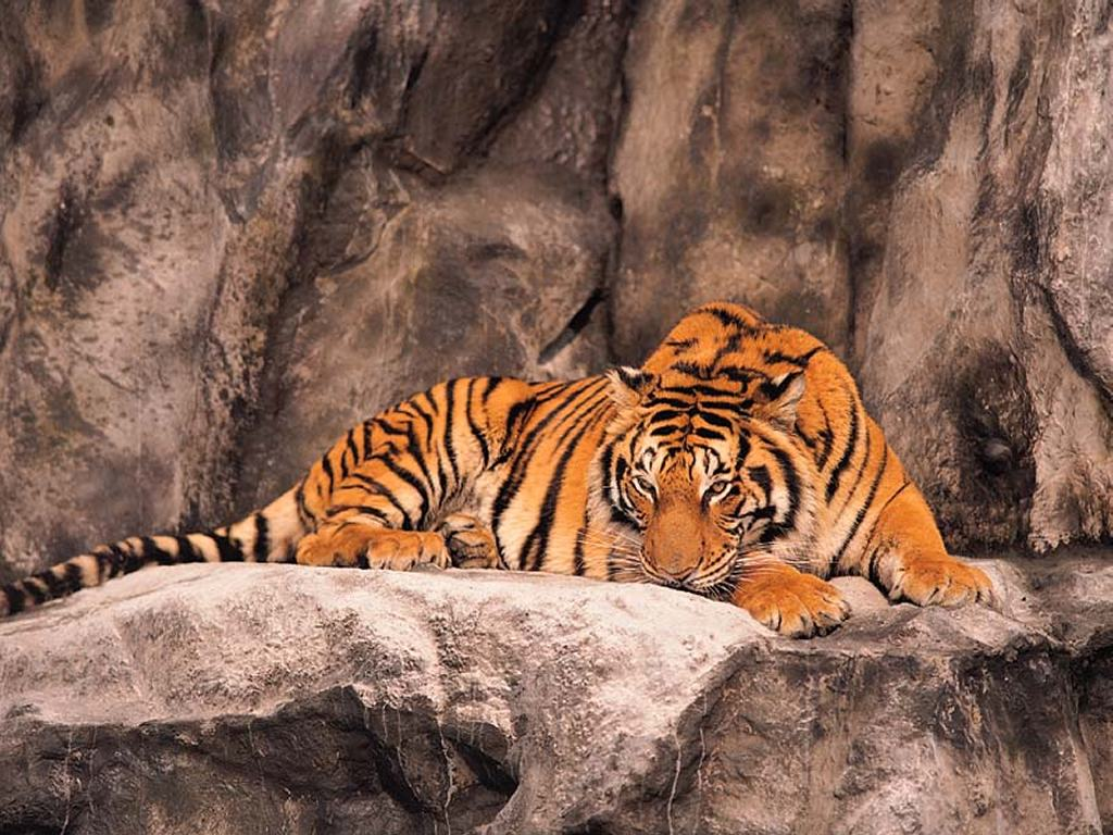 Nature Wallpaper: Tiger