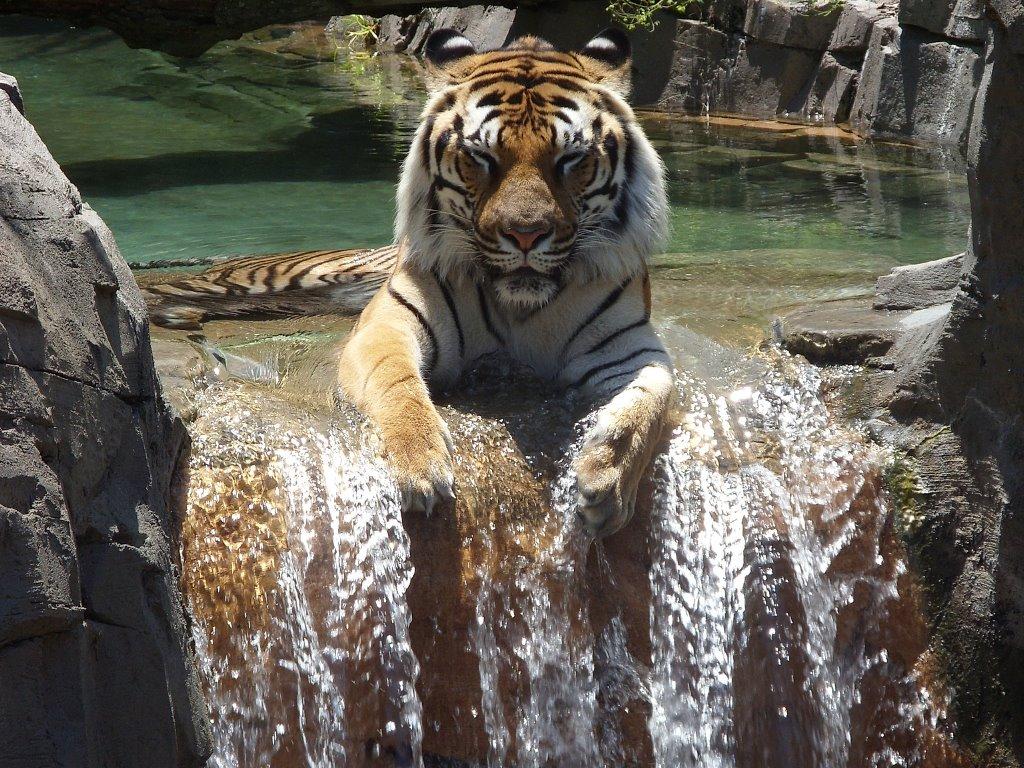 Nature Wallpaper: Tiger - Relaxing