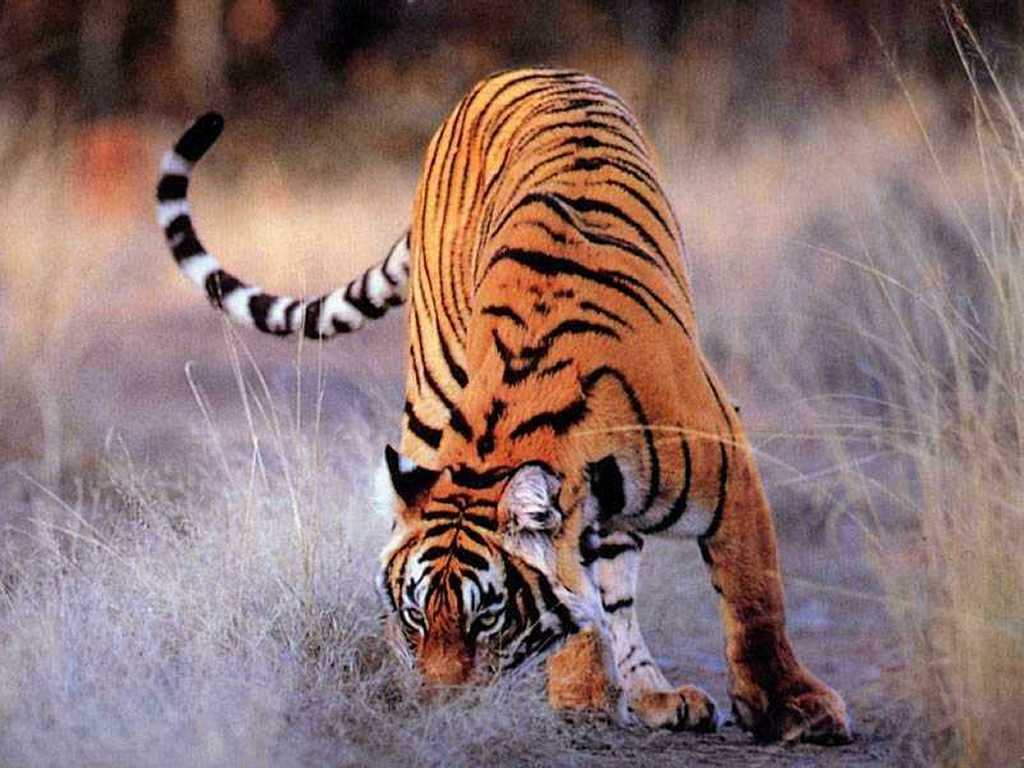 Nature Wallpaper: Tiger Sneaking