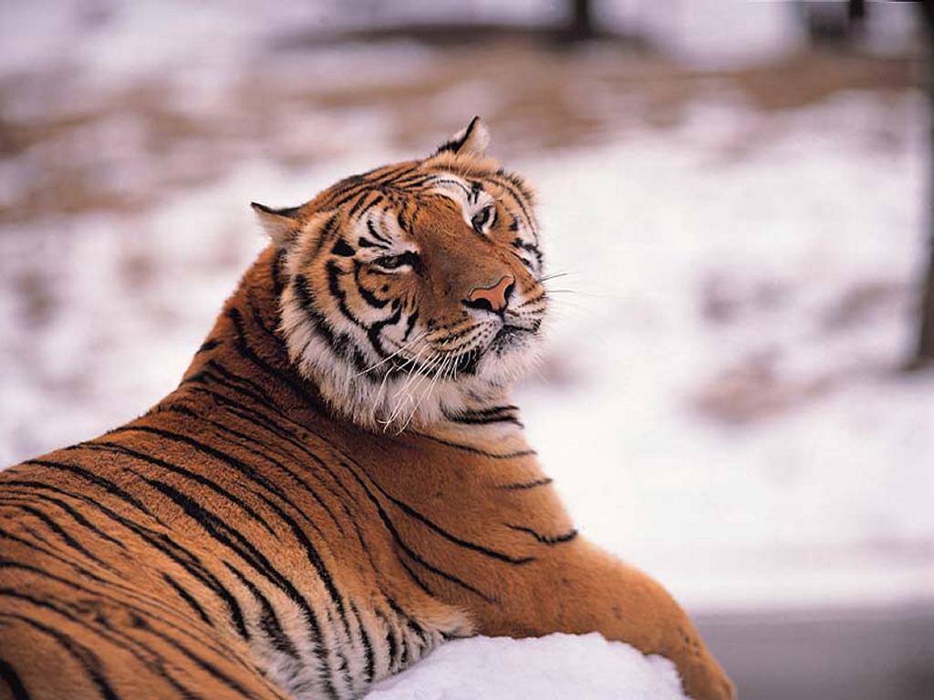 Nature Wallpaper: Cool Tiger