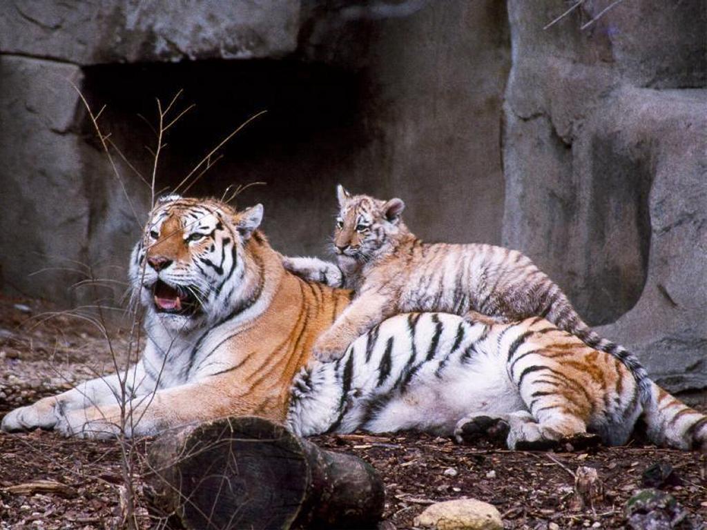 Nature Wallpaper: Tigers Lair