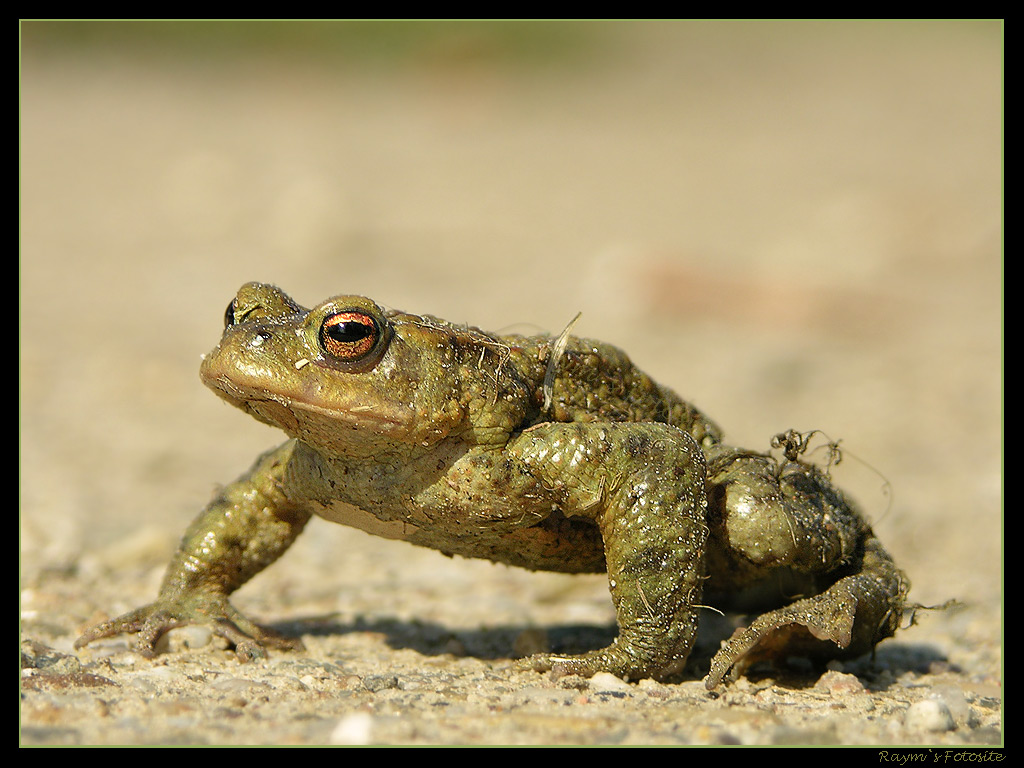 Nature Wallpaper: Toad