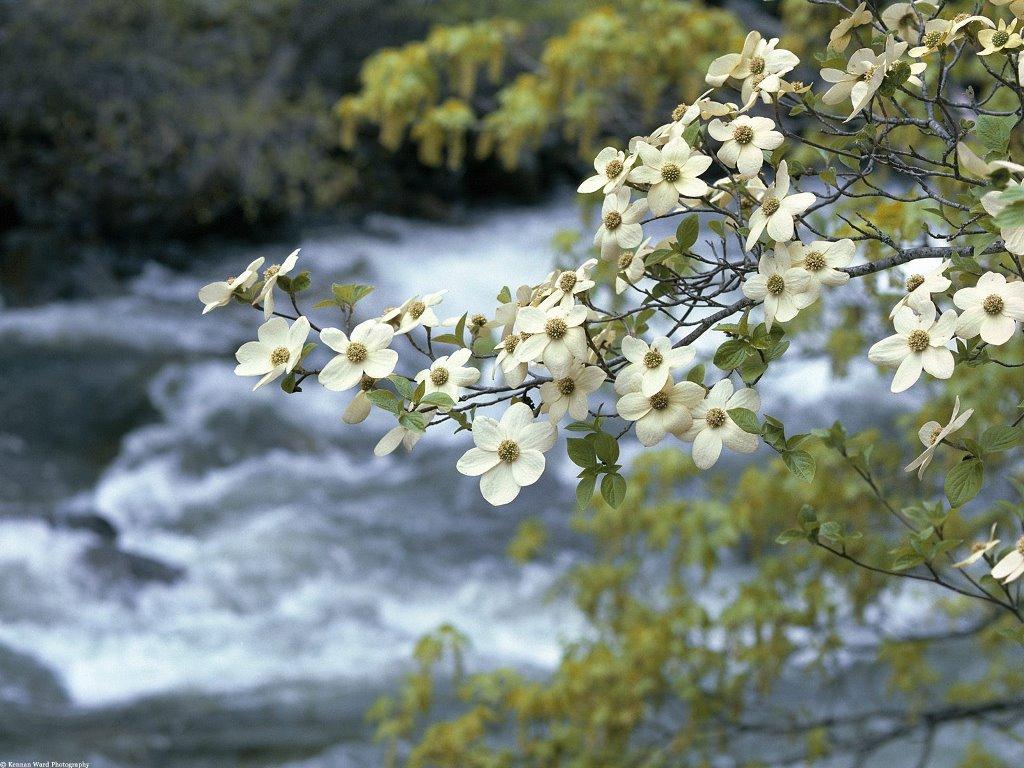 Nature Wallpaper: Tree - Blooms