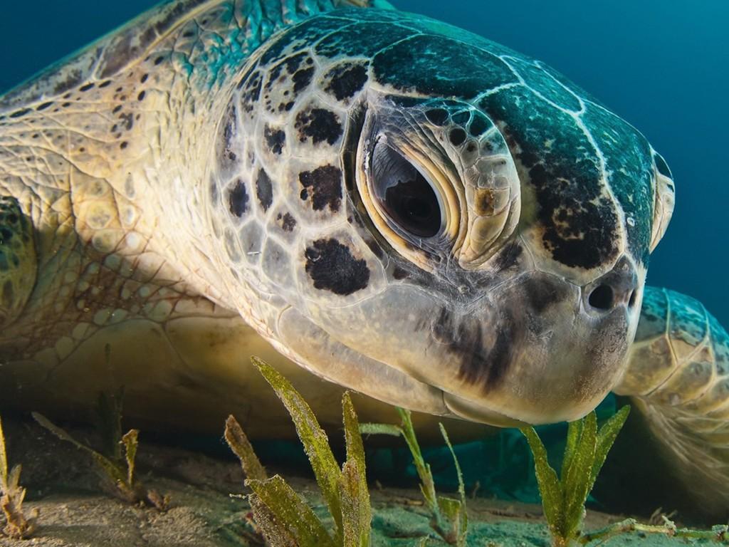 Nature Wallpaper: Turtle - Ocean