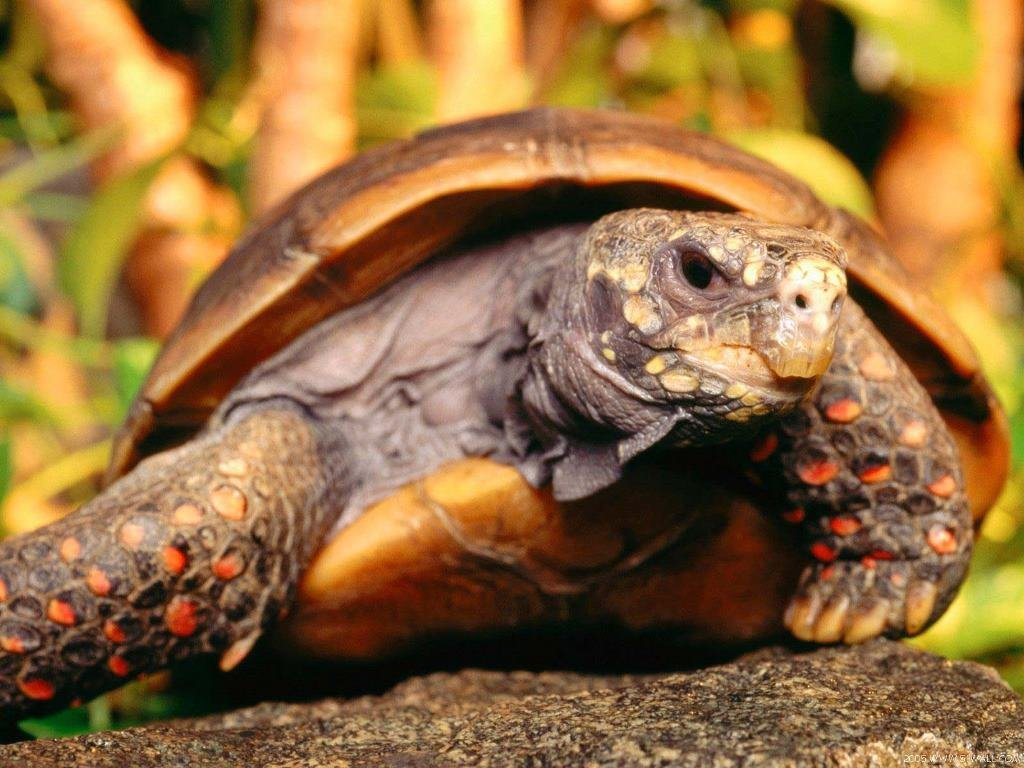 Nature Wallpaper: Turtle