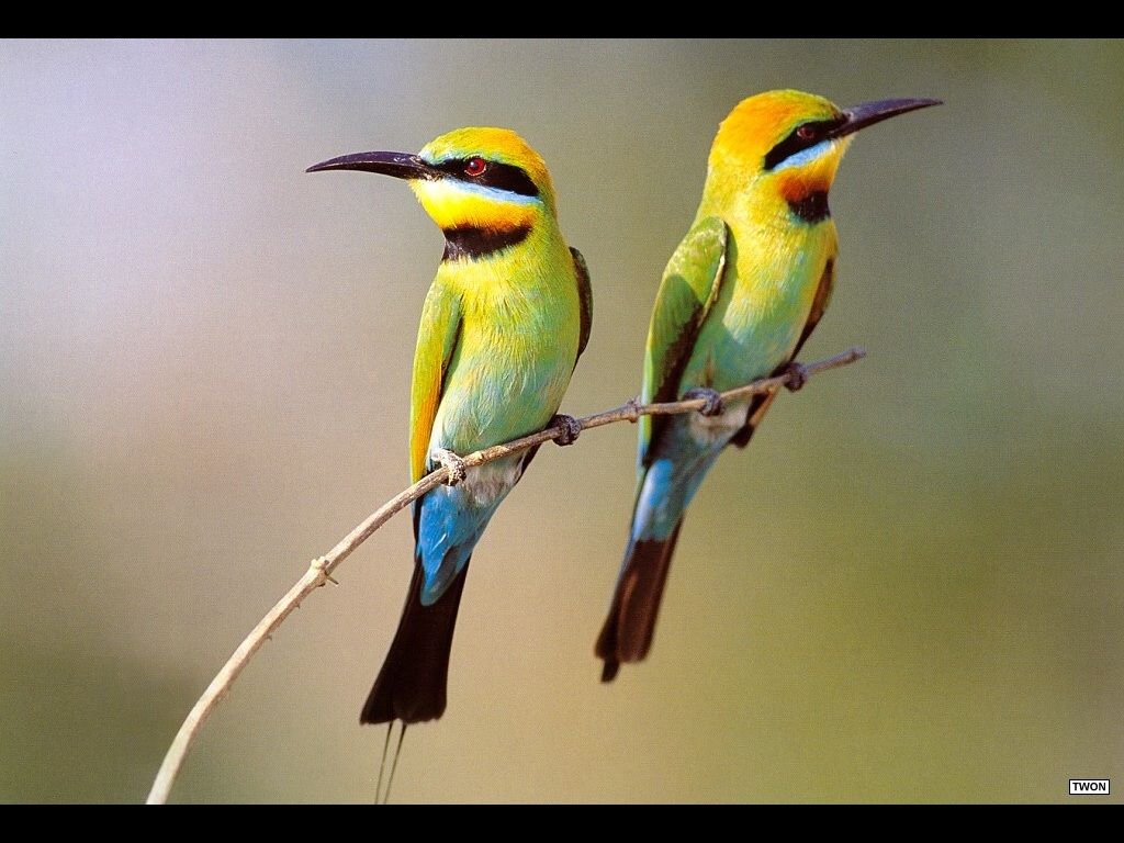 Nature Wallpaper: Two Birds