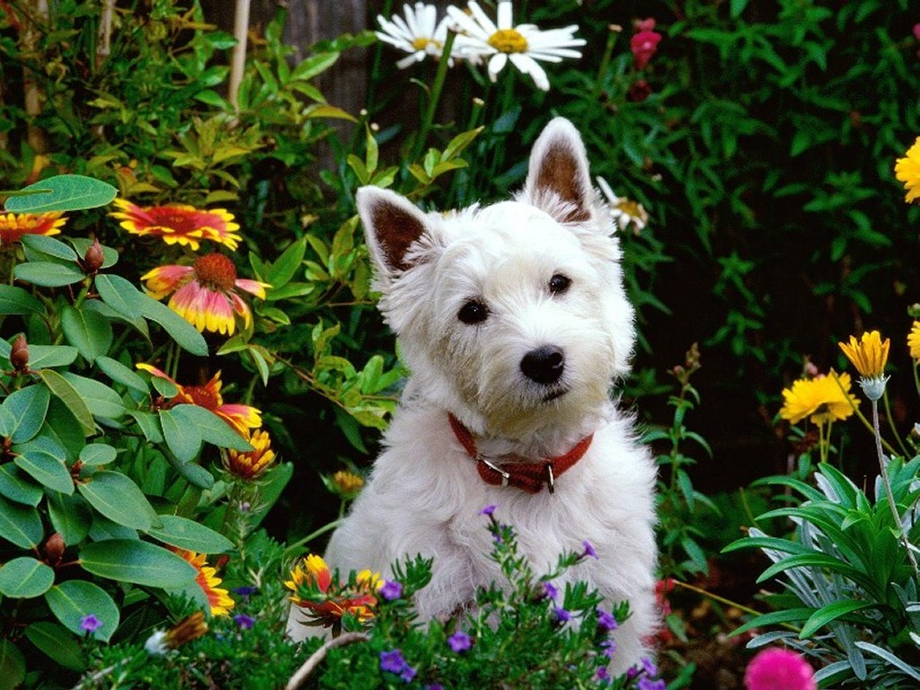 Nature Wallpaper: West Highland Terrier