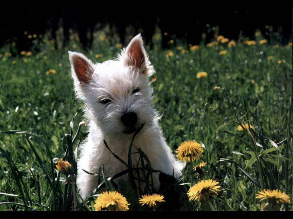 Nature Wallpaper: West Highland Terrier