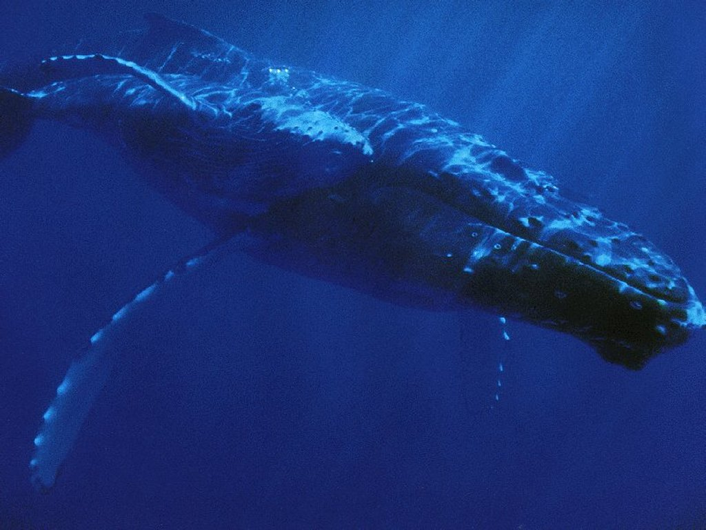 Nature Wallpaper: Whale