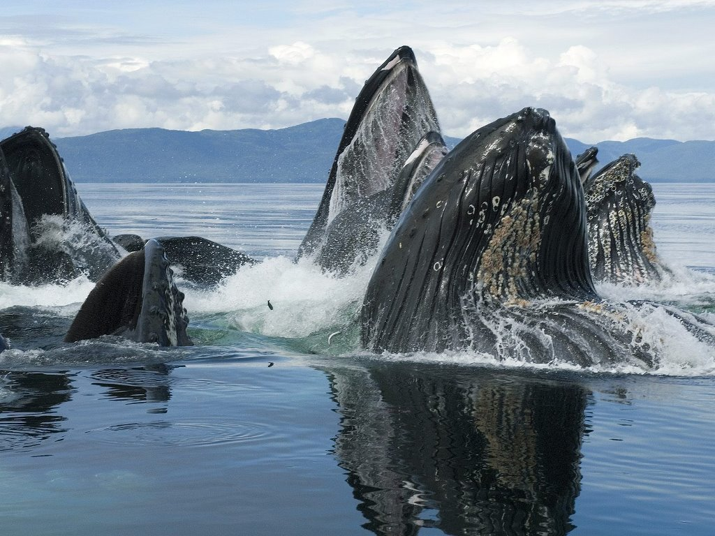Nature Wallpaper: Whales