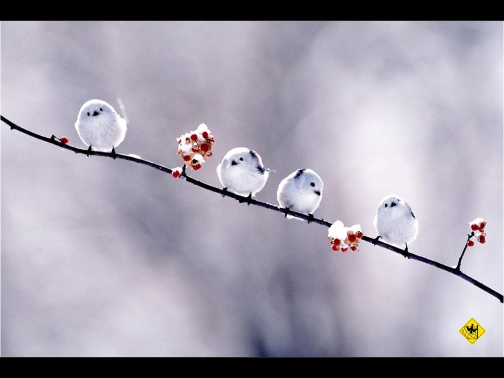 Nature Wallpaper: White Birds