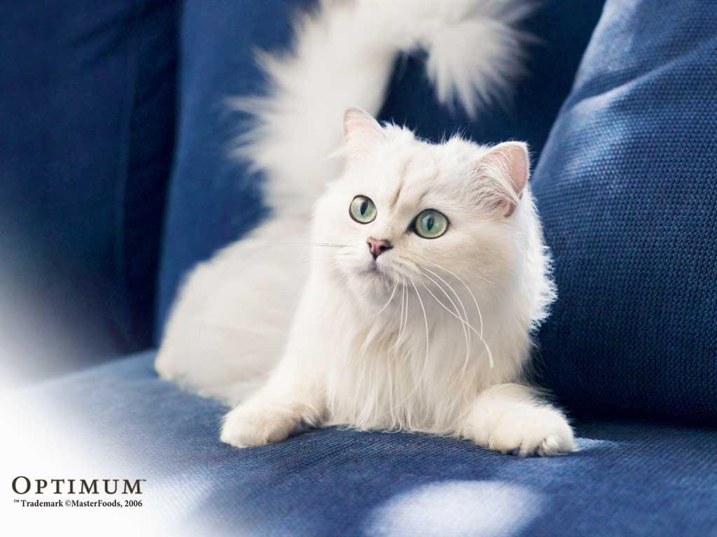 Nature Wallpaper: White Cat