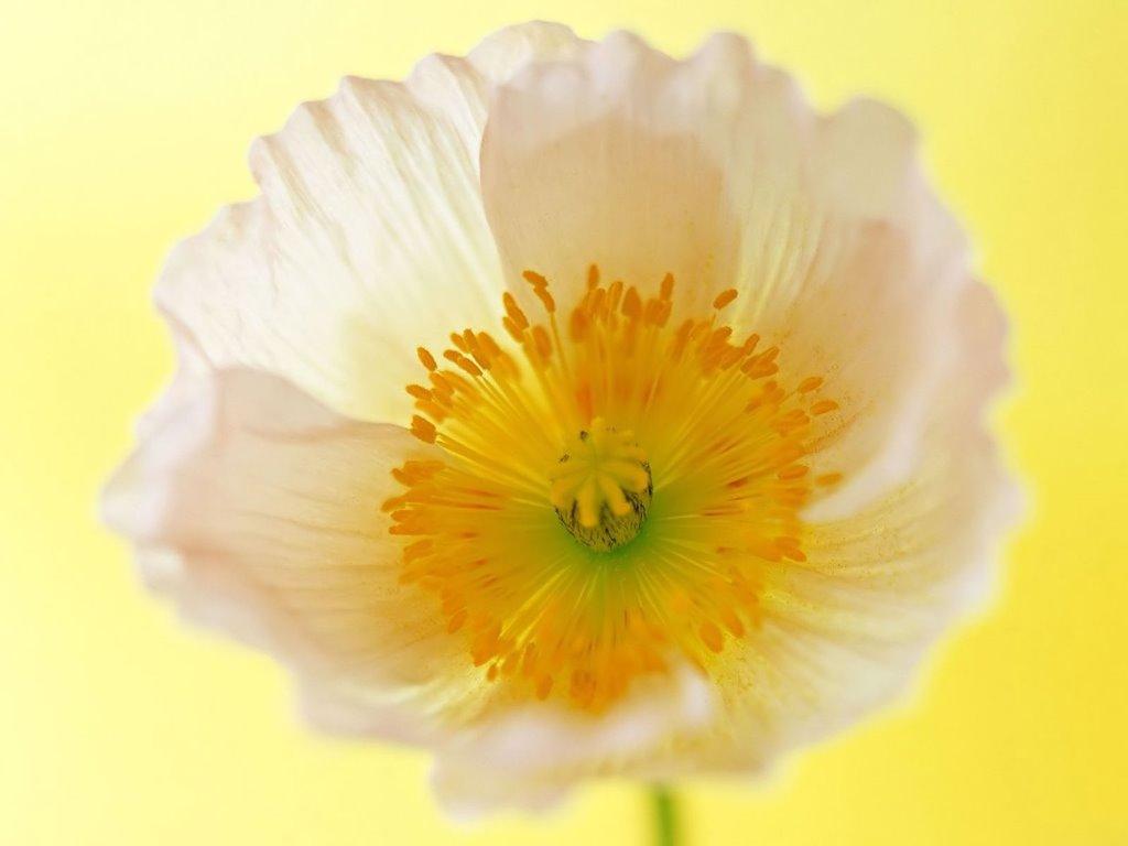 Nature Wallpaper: White Flower