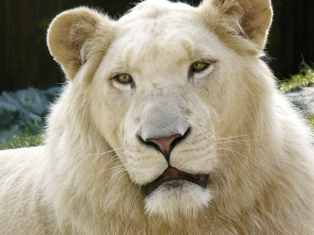 Nature Wallpaper: White Lion