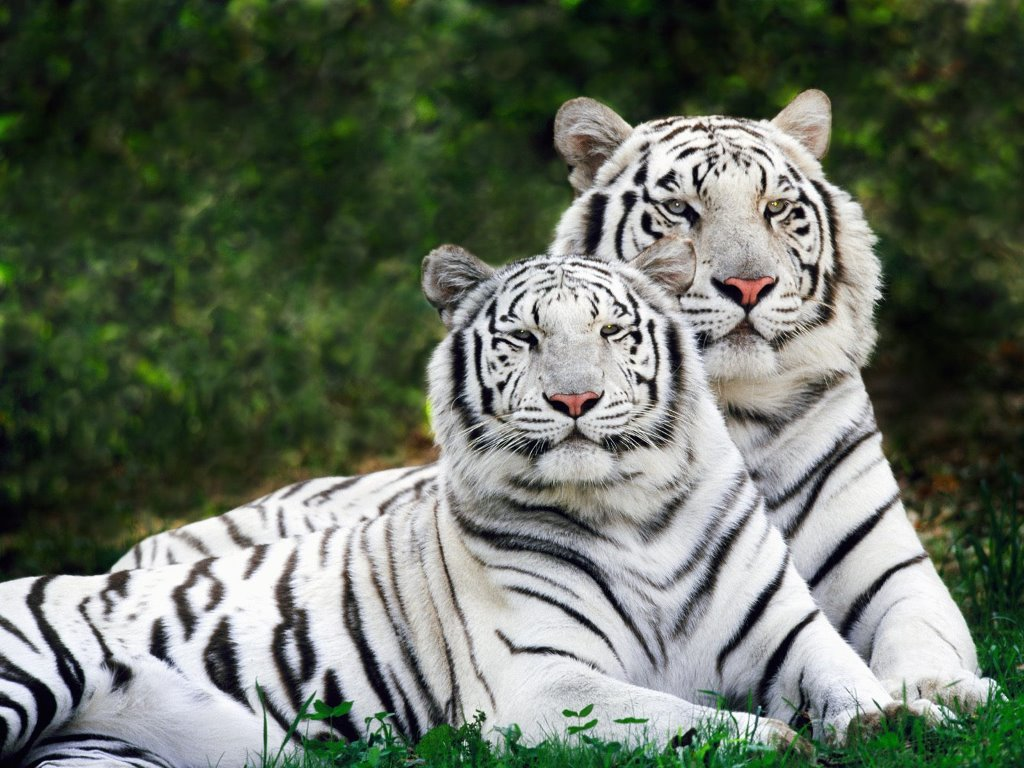 Nature Wallpaper: Albino Bengal Tigers