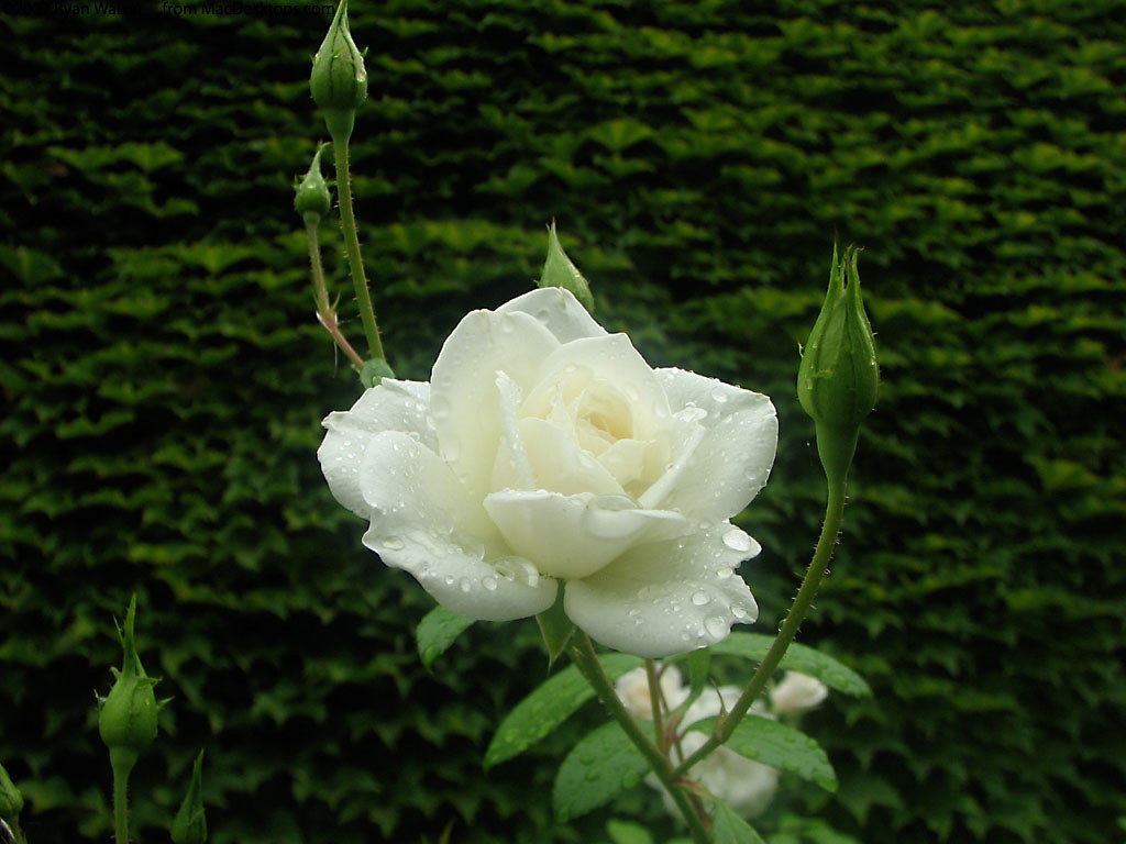 Nature Wallpaper: White Rose