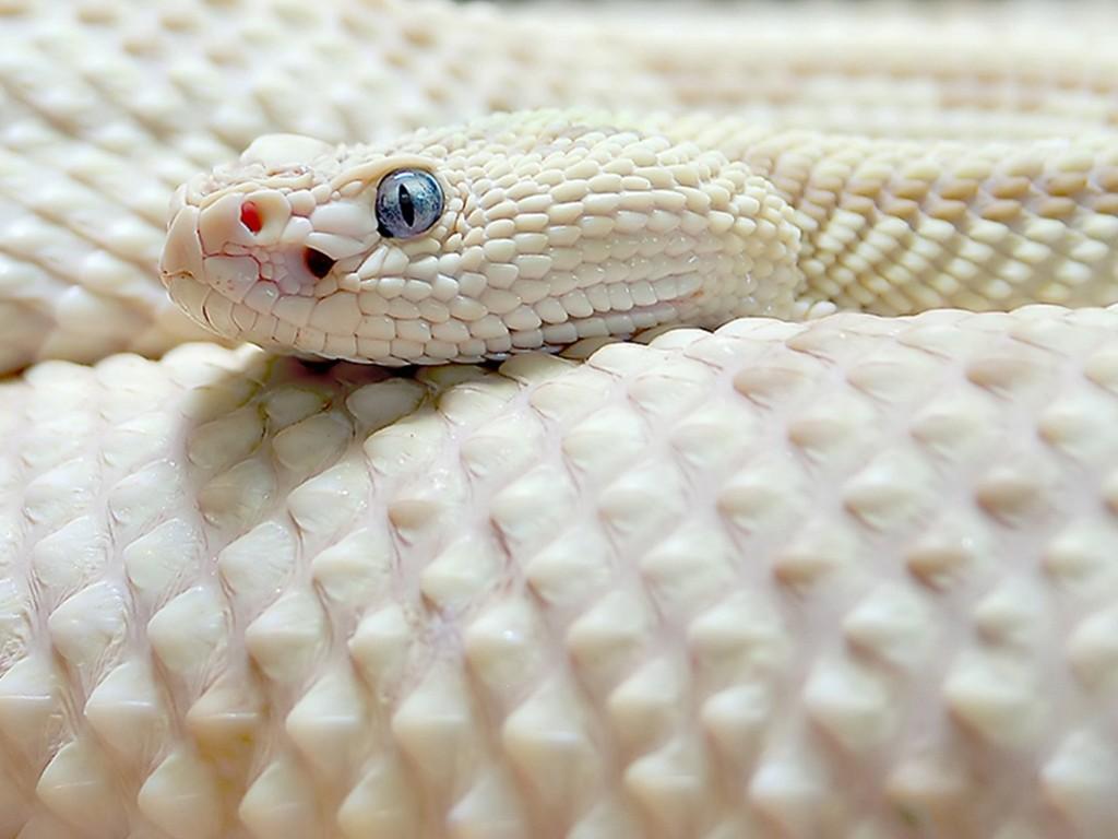Nature Wallpaper: White Snake