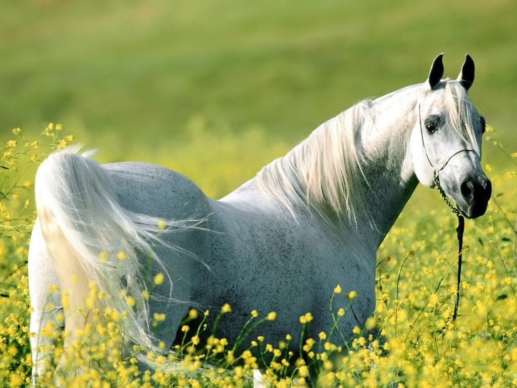 Nature Wallpaper: White Stallion