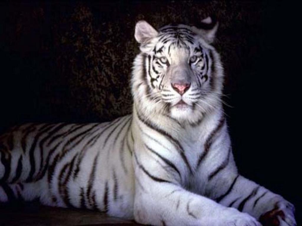 Nature Wallpaper: White Tiger