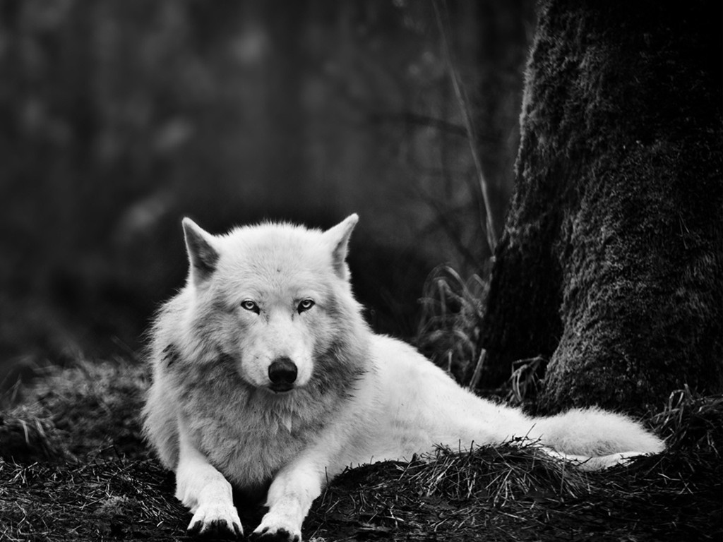 Nature Wallpaper: White Wolf
