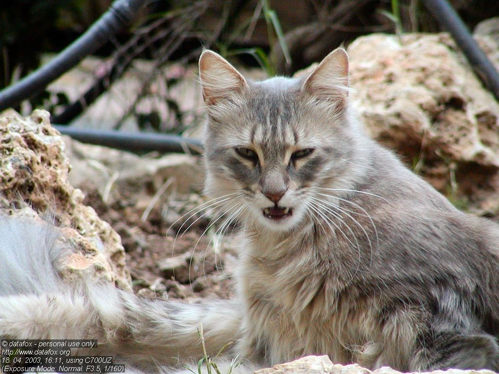 Nature Wallpaper: Wild Cat