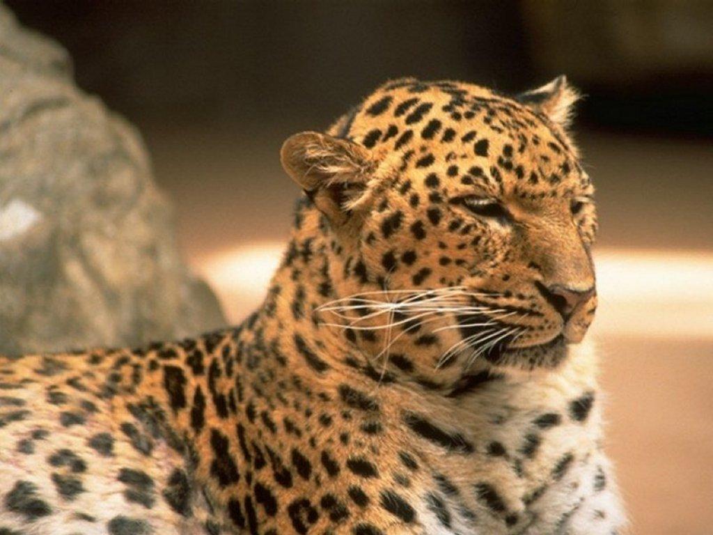 Nature Wallpaper: Wild Feline