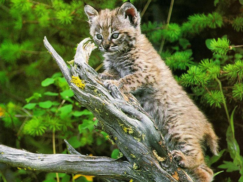 Nature Wallpaper: Wild Kitty