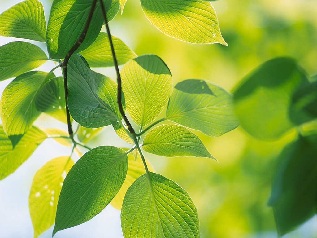 Nature Wallpaper: Leaves
