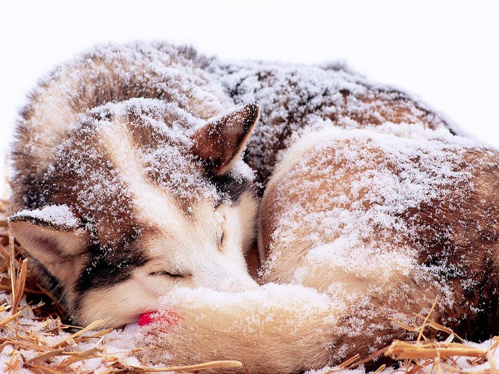 Nature Wallpaper: Winter Wolf