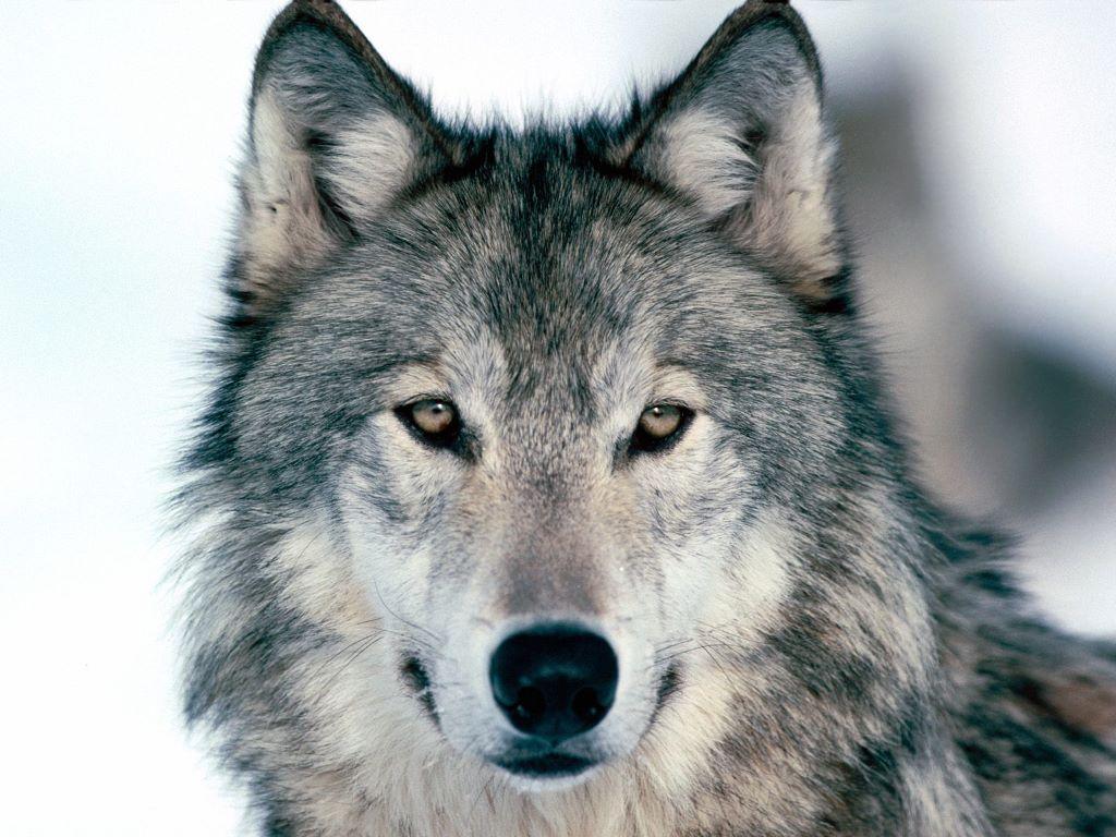 Nature Wallpaper: Wolf