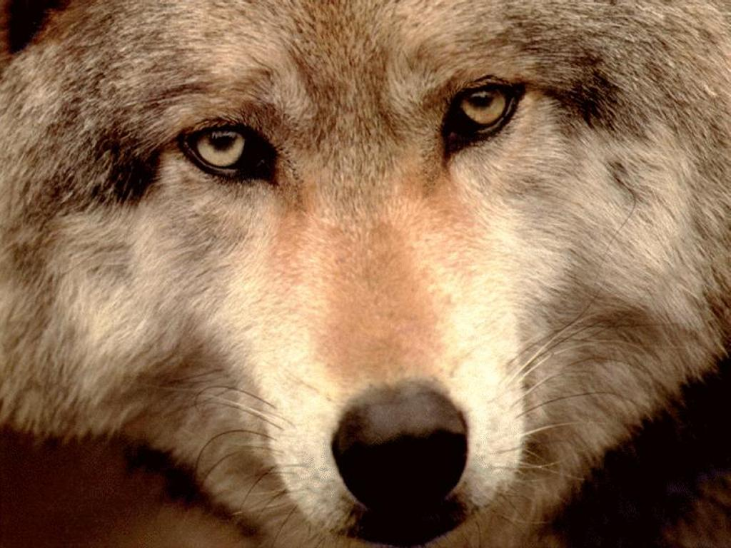 Nature Wallpaper: Wolf Face