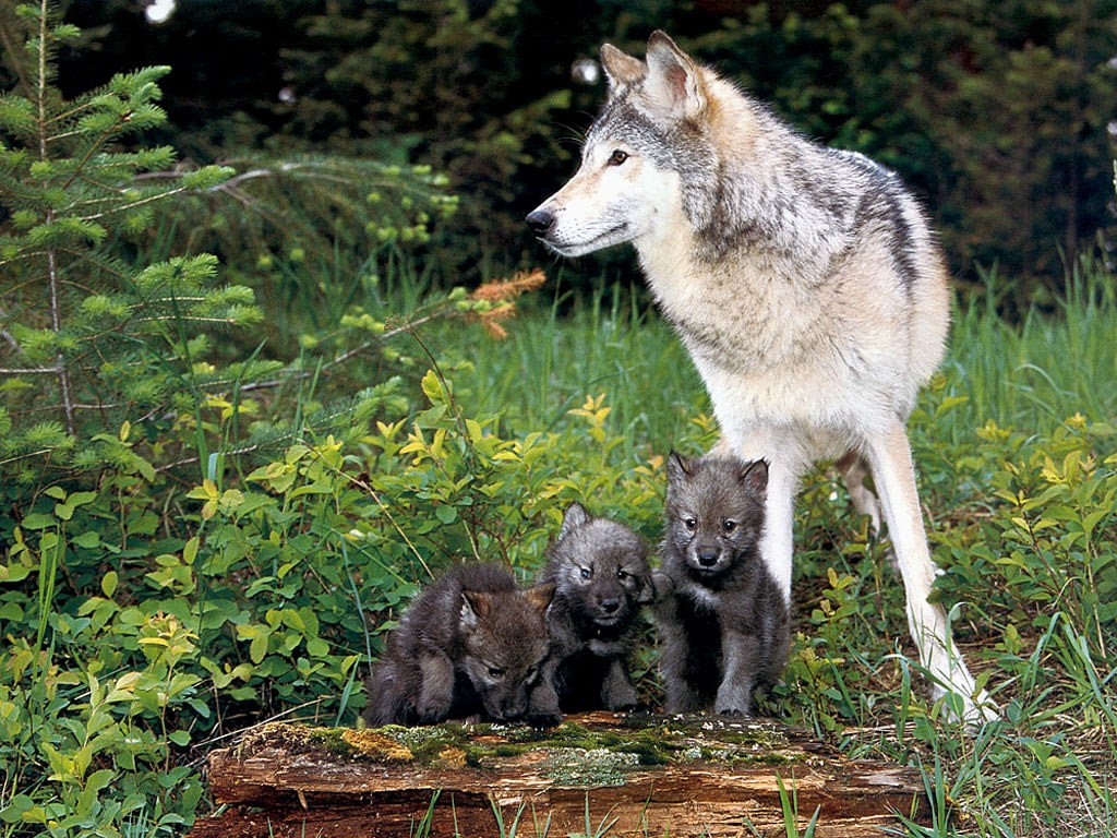 Nature Wallpaper: Wolf - Puppies