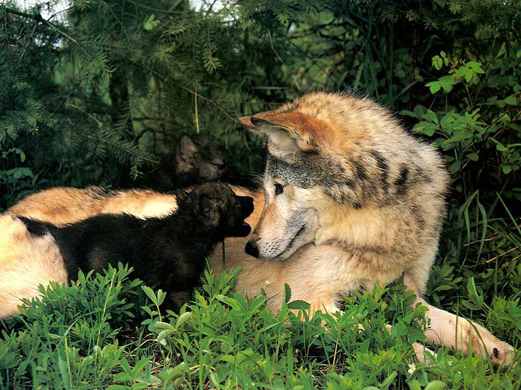 Nature Wallpaper: Wolves - Mother and Cub